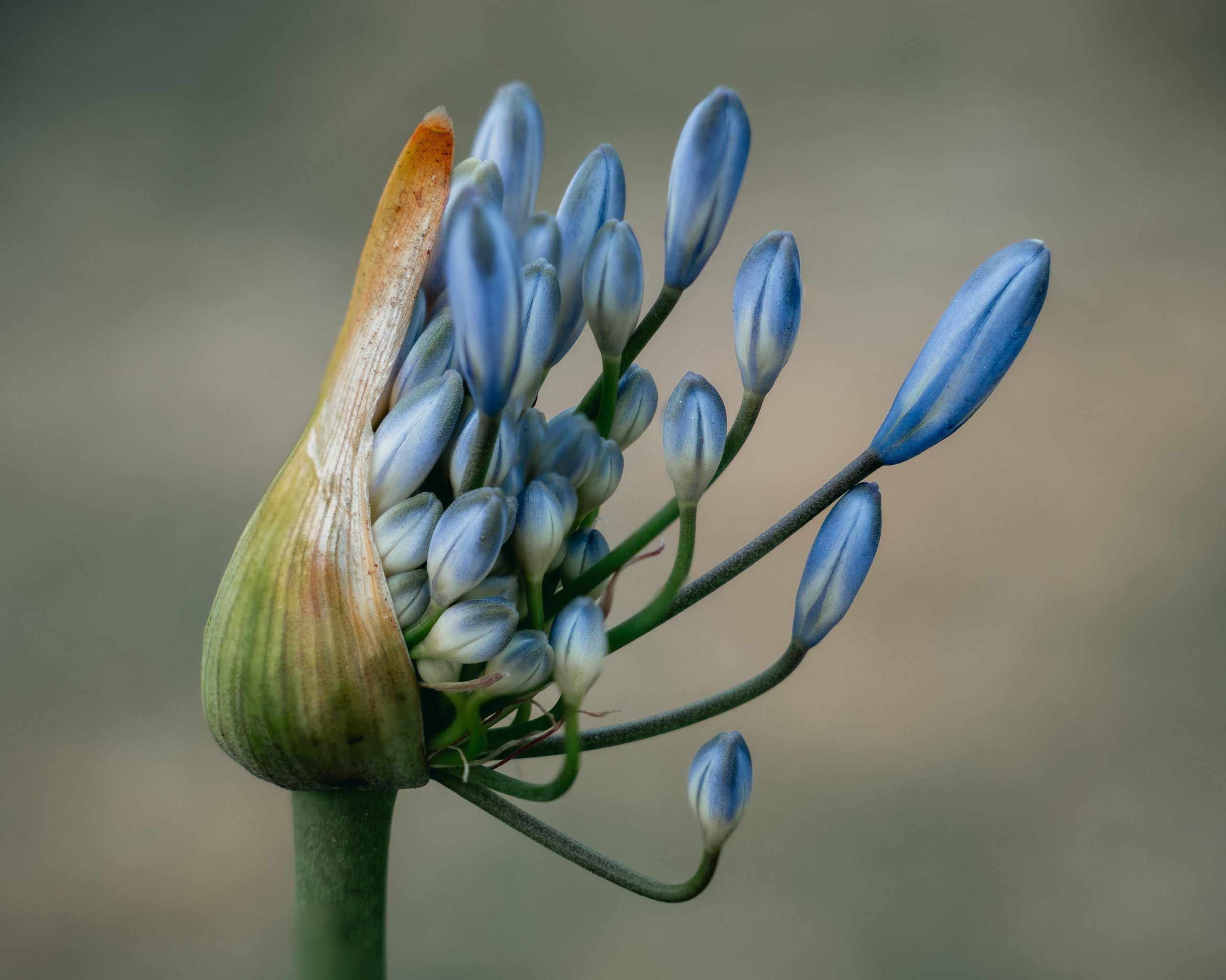 close up photo of blue flower 3686216 scaled